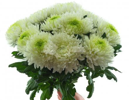 Крупноголовая хризантема поштучно
